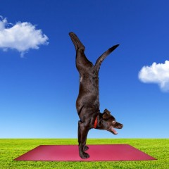 20841653 - funny dog doing yoga on the red yoga mat on green grass at blue cloudy sky